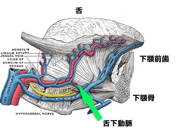 舌下動脈 下顎骨